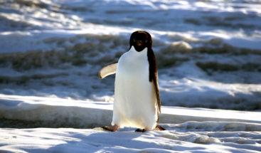 Un pingüino salta 'in extremis' al estilo Indiana Jones para no quedar aislado en el hielo