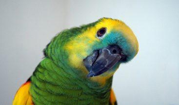 VIDEO:Papagayo entrenado por narcotraficantes para gritar