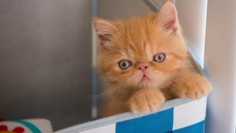 Cosas de gato: Pierde la paciencia ante la indecisión de su cría y la empuja dentro de una caja de cartón